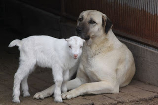 Anatolian Shepherd  Dog with young kid